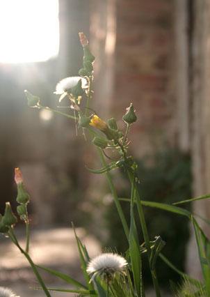 Trauerkarte, lichtdurchflutete Wildpflanze