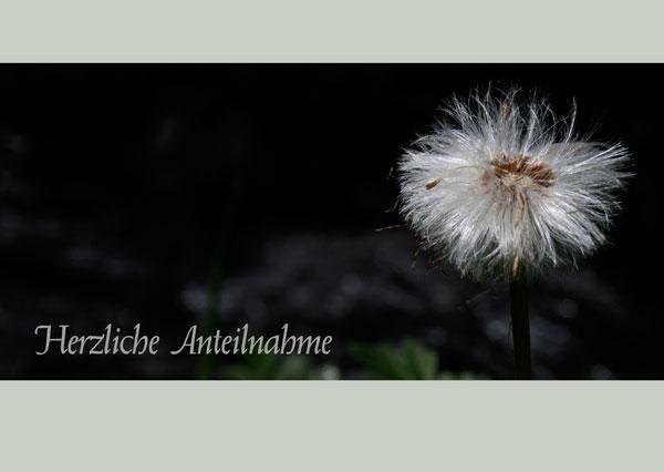 Trauerkarte mit Text Herzliche Anteilnahme, weisse Wollblume auf dunklem Hintergrund