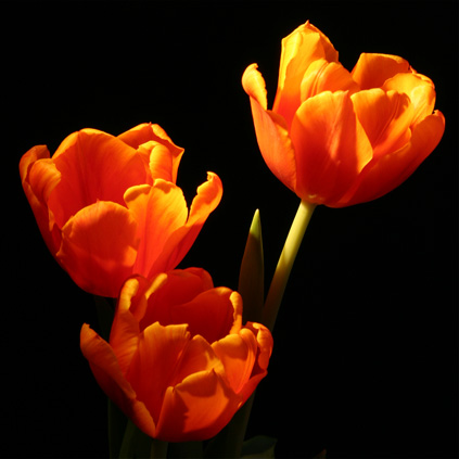 Drei orange Tulpen