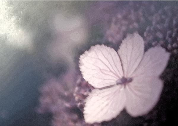 Zarte Hortensienblüte