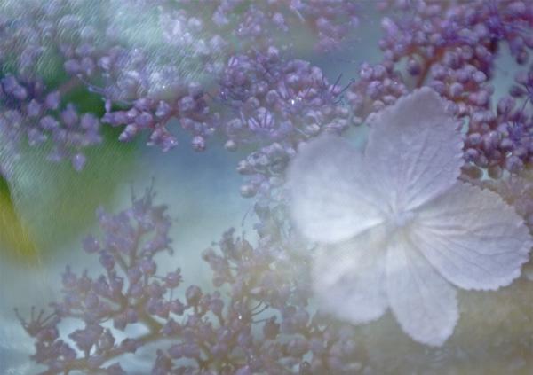 Hortensienblüte