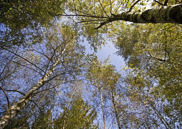 Birken im Villettepark Cham