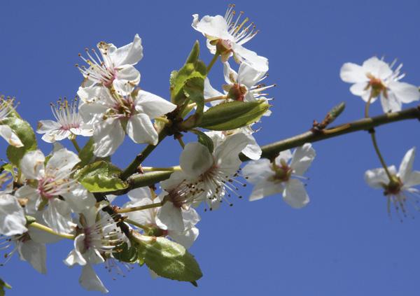 Apfelblütenzweig vor blauem Himmel