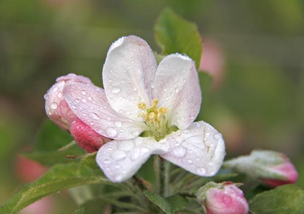 Apfelblüten mit grünem Hintergrund