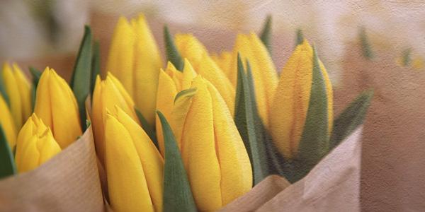 Gelbe Tulpen im Papier