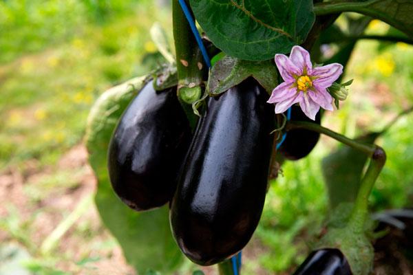 Gemüse- und Beerenanbau, Obergine