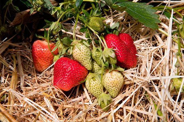 Gemüse- und Beerenanbau, Erdbedeeren