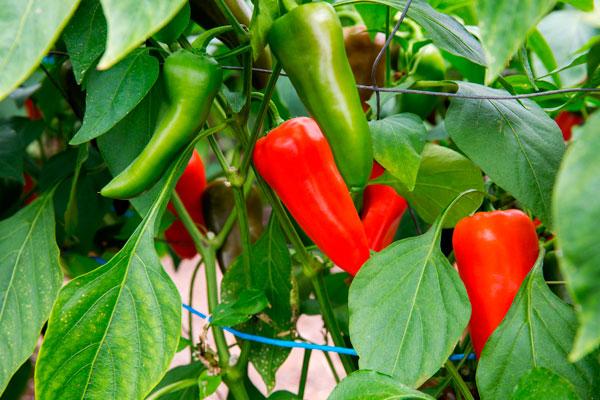 Gemüse- und Beerenanbau, Peperoni