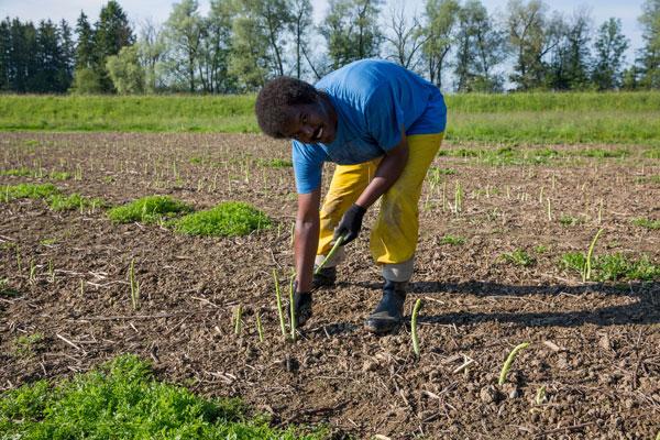 Gemüse- und Beerenanbau, Spargelernte