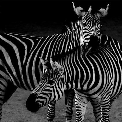 Zwei Zebra ganz nah