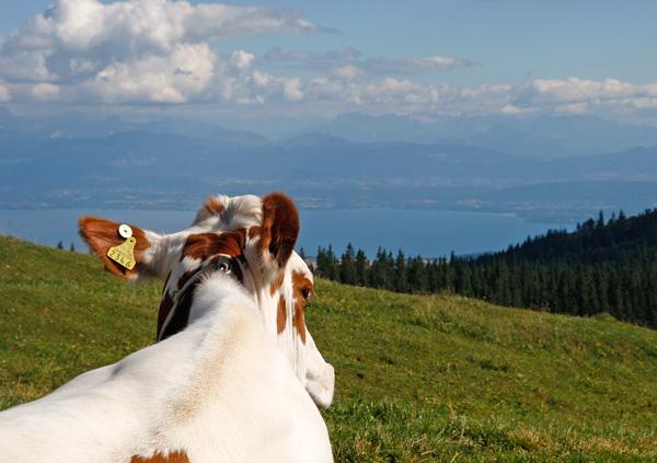 Kuh von Hinten mit Weitblick auf Berge und See