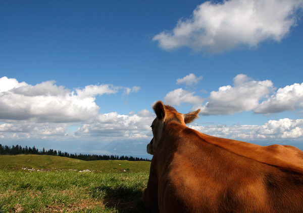 Kuh von Hinten mit Weitblick