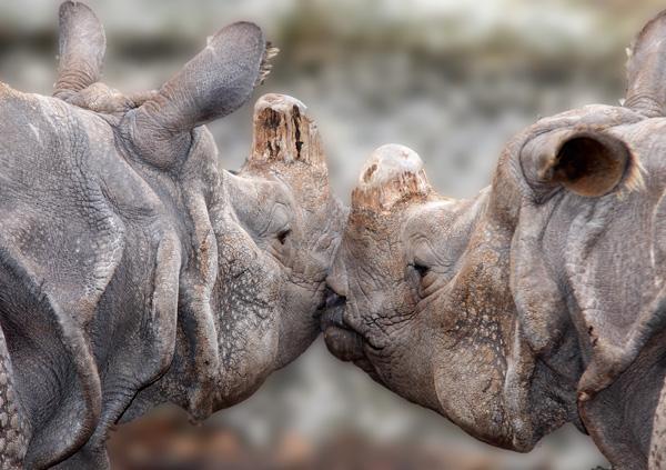 Küssende Nilpferde