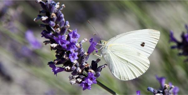 Schmetterling mit lila Blüten